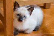 Продам сиамского котенка 200 тыс.