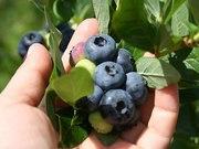 Ищу работников на сезоннцю работу на плантациях голубики в Польше.