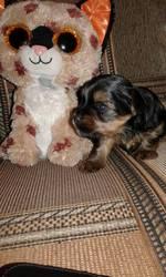 щенок мини йорк