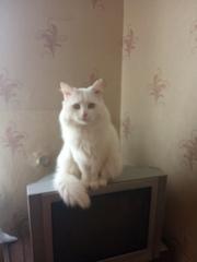 Отдам в добрые руки кота породы турецкая ангора.